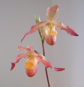 phragmipedium